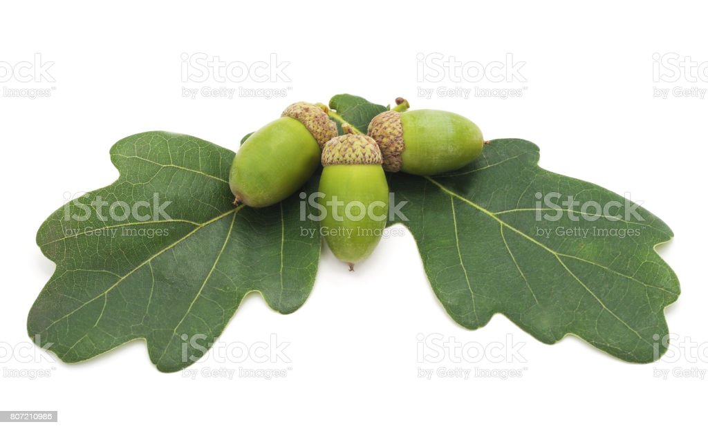 Acorns on leaves. stock photo