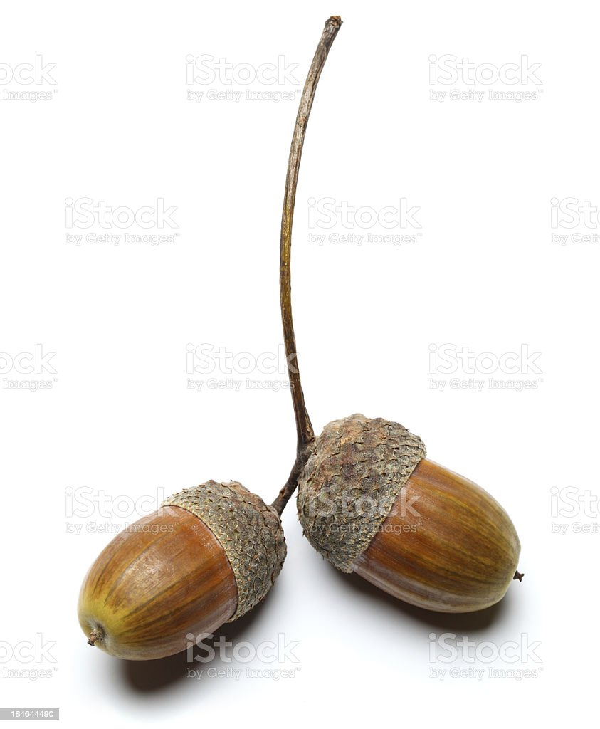 Acorns stock photo