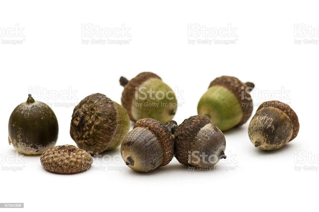 Acorns. royalty-free stock photo