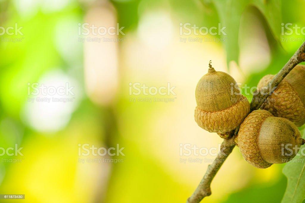 Acorns. Selective focus. stock photo