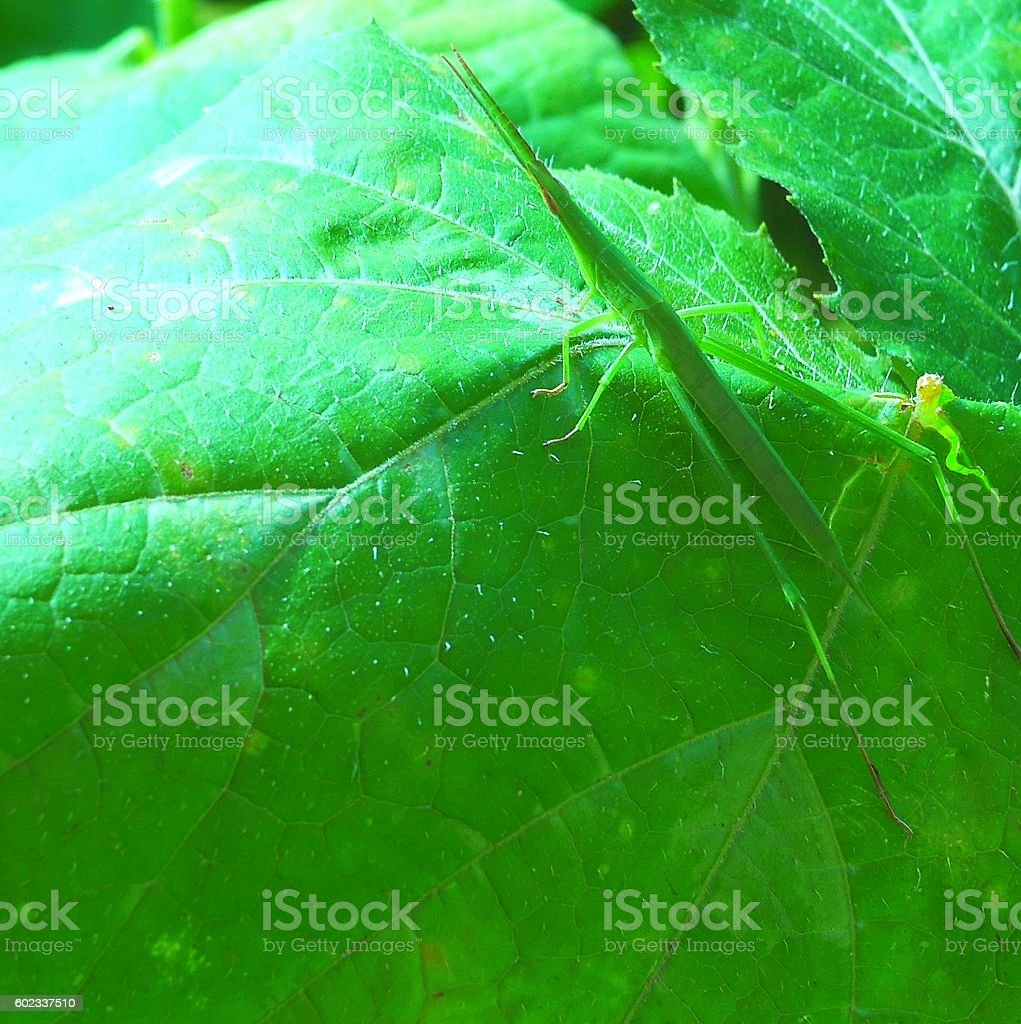 Acrida cinerea quickly moved out of the way stock photo