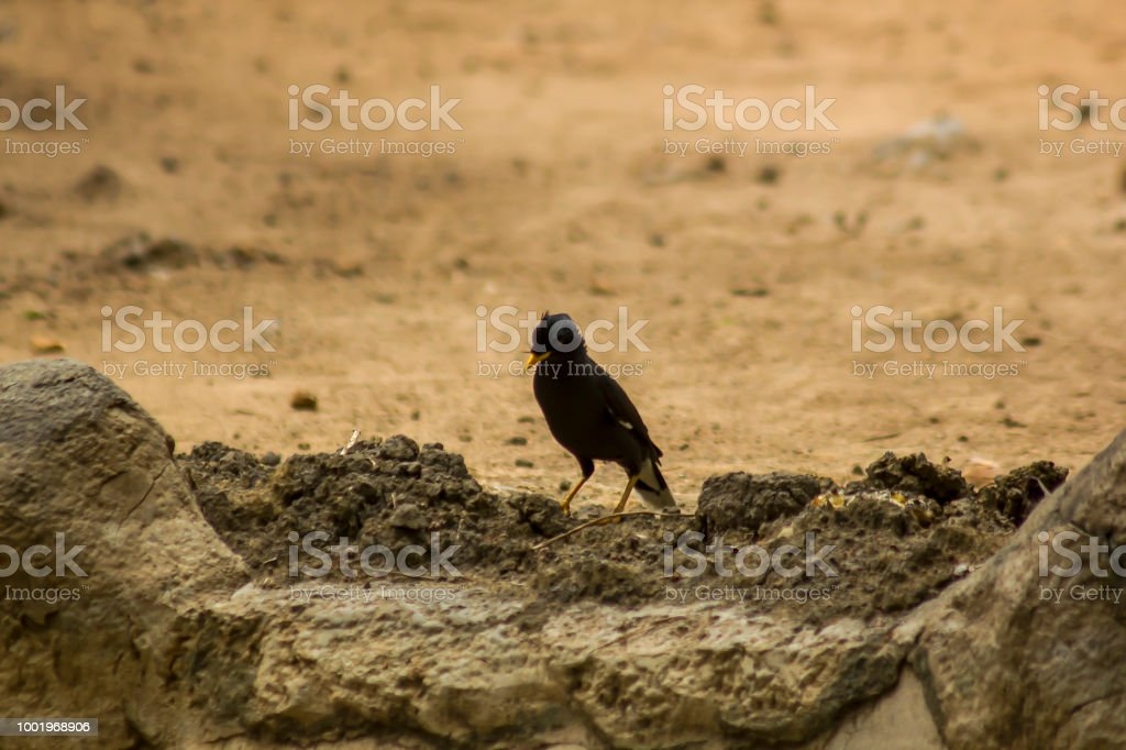 Acridotheres are on the ground. stock photo