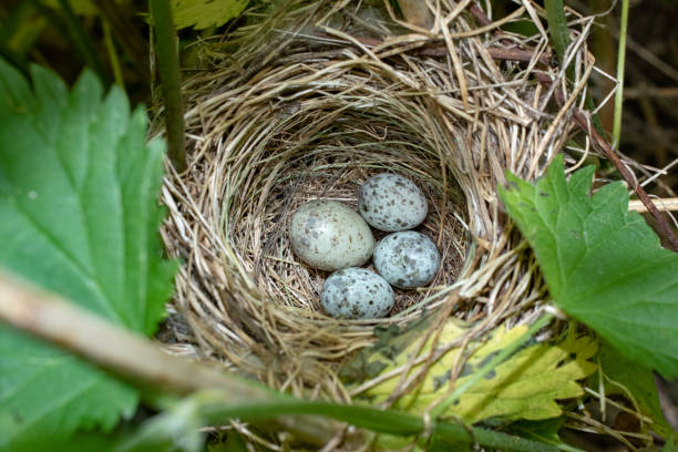 Cтоковое фото Acrocephalus palustris. The nest of the Marsh Warbler in nature. Common Cuckoo (Cuculus canorus) egg