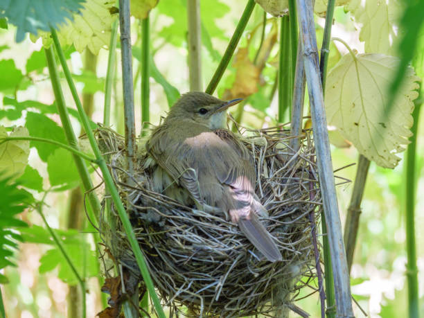 Cтоковое фото Acrocephalus palustris. The nest of the Marsh Warbler in nature. Common Cuckoo