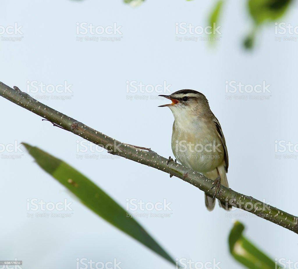 Acrocephalus schoenobaenus, Sedge Warbler. A singing bird. stock photo
