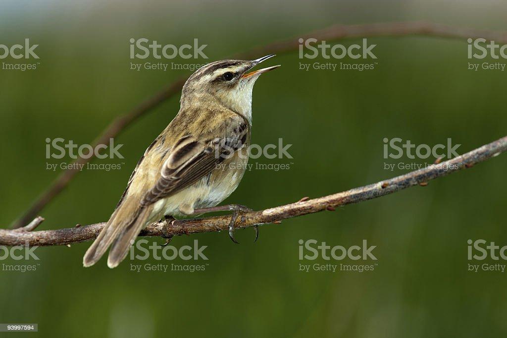 Acrocephalus schoenobaenus, Sedge Warbler. A singing bird. royalty-free stock photo