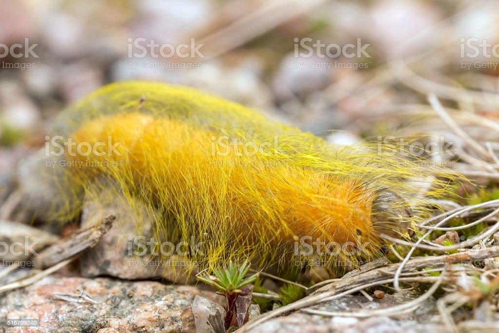Acronicta moth larva stock photo