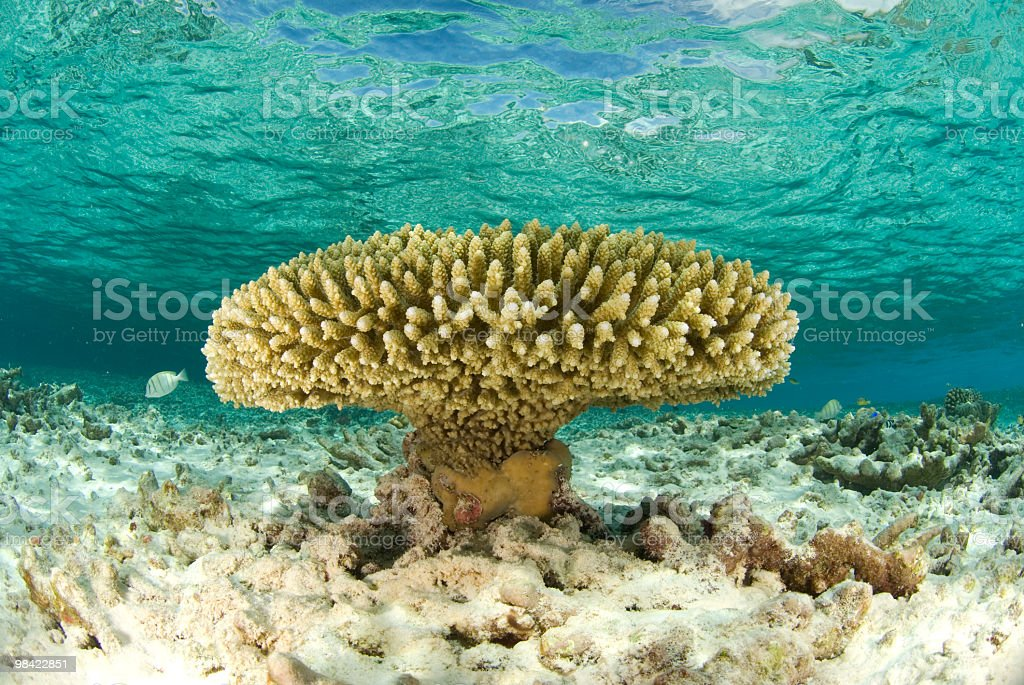 acropora hard coral in clear water royalty-free stock photo