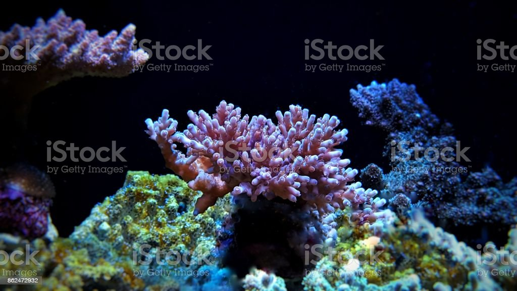 Acropora sps coral stock photo