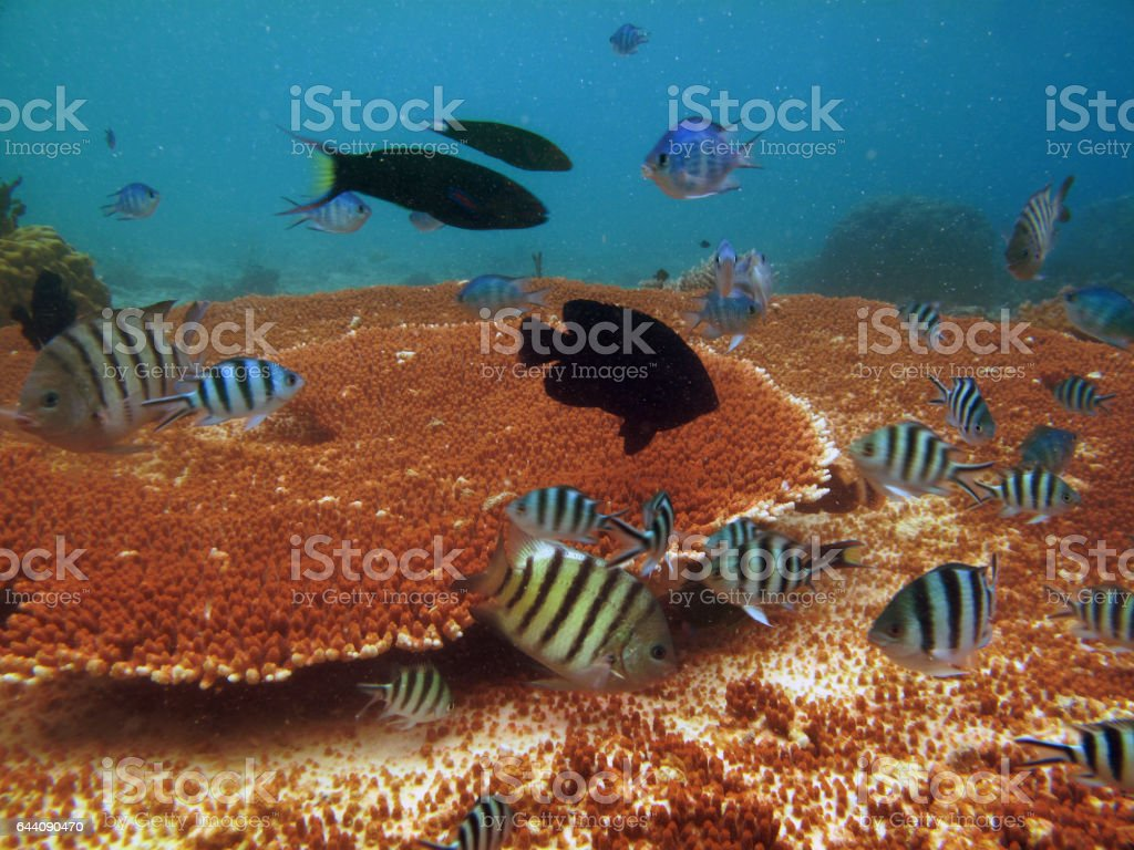 Acropora Table Coral at Redang Islands tropical underwater scenes. stock photo