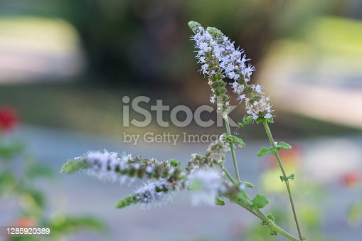 Actaea Racemosa Flowers: White Efflorescence in a Garden.