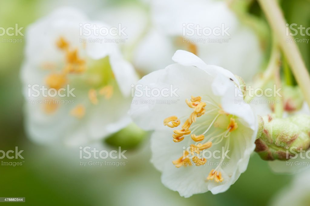 Actinidia kolomikta flowers stock photo