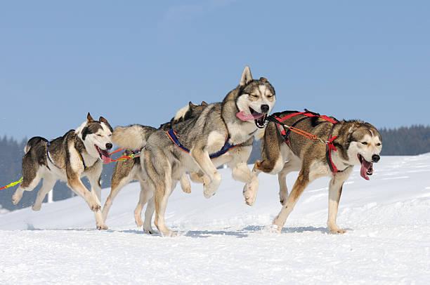 action grand froid chiens de traineau en action dans la neige sled dog stock pictures, royalty-free photos & images