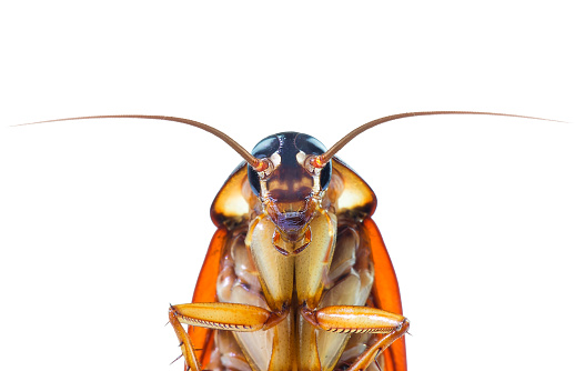 istock action image of Cockroaches, Cockroaches isolated on white background 1052951952