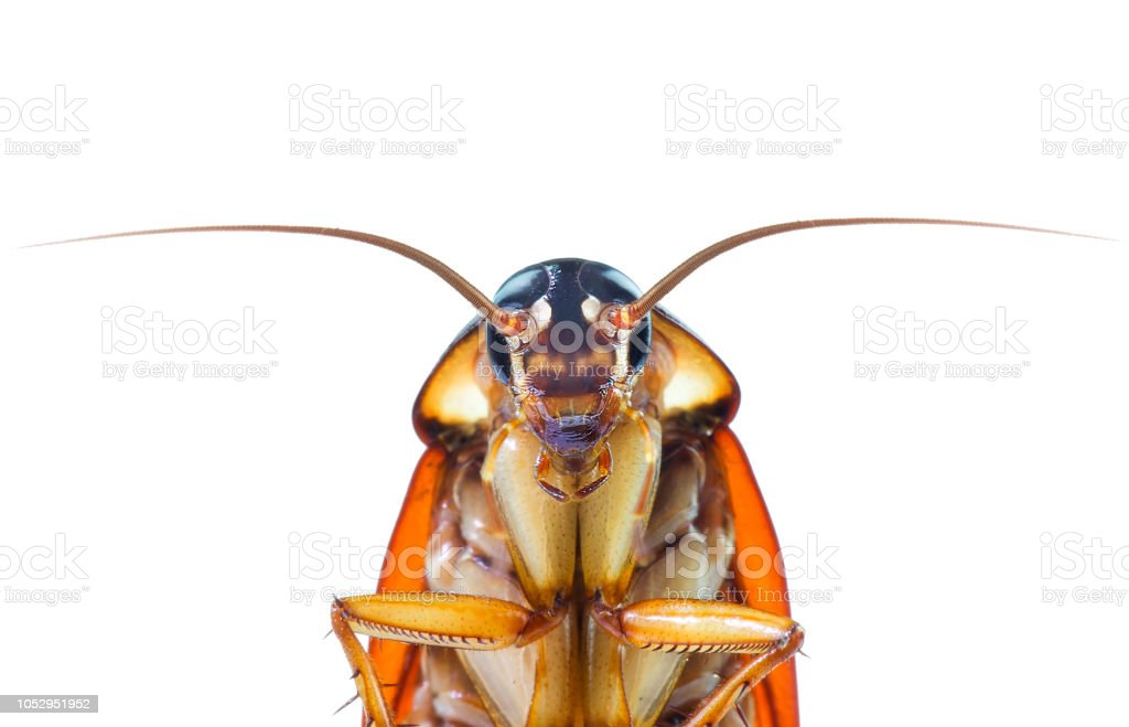 action image of Cockroaches, Cockroaches isolated on white background - foto stock
