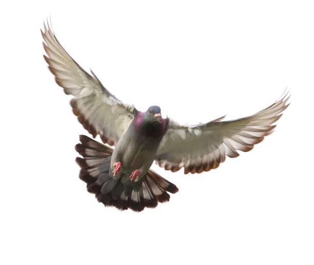 Aktion der Brieftaube Vogel nähert sich bis zur Landung am Boden isoliert weiß – Foto