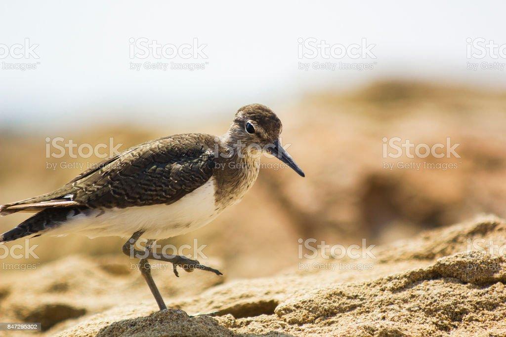 Actitis hypoleucos bird of Scolopacidae family on beach near sea....