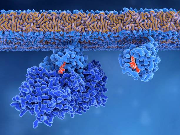 Activation of a Ras protein Inactive Ras protein (left) is activated by a GEF protein opening the binding site allowing GDP to exit. Afterwards GTP can bind to RAS turning it into the active form (right). Ras proteins are involved in transmitting signals within cells turning on genes involved in cell growth, differentiation and survival. Mutations in ras genes can lead to permanently activated proteins causing cells to subdivide without control. nucleotide stock pictures, royalty-free photos & images