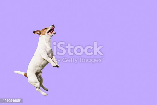 Happy playful Jack Russell Terrier dog playing