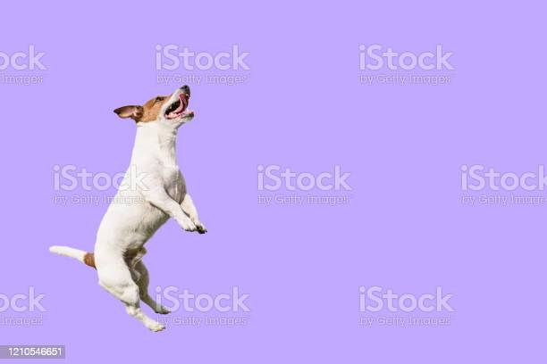 Active and agile dog jumping high on solid color purple background picture id1210546651?b=1&k=6&m=1210546651&s=612x612&h=ddojnr5b6gqx5ppkshngiqcxwmqdo3kyq6 aqulixt0=