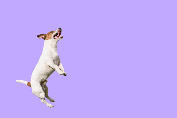 Active and agile dog jumping high on solid color purple background picture id1210546651?b=1&k=6&m=1210546651&s=612x612&w=0&h= kkfucvr je9br6rvjgfzpexcm oqupb7feu1izkwna=