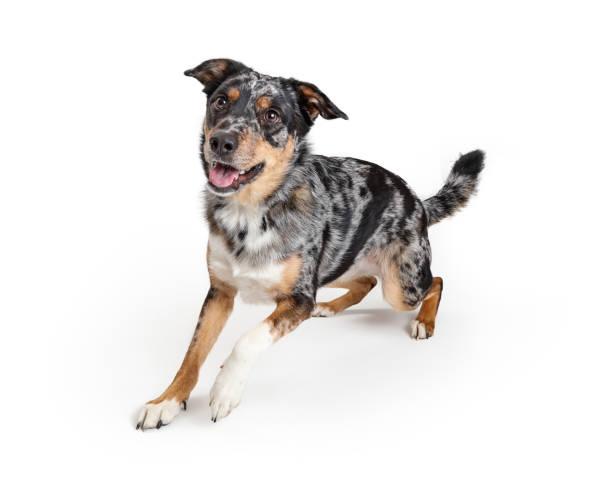 Active australian shepherd crossbreed dog picture id1149341748?b=1&k=6&m=1149341748&s=612x612&w=0&h=n yw90epsuerzukgpwo1ox 1qxj0dndxbnrhofc p8w=
