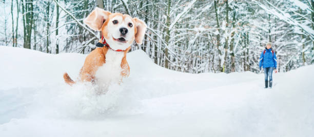 Active beagle dog running in deep snow winter walks with pets concept picture id1093978882?b=1&k=6&m=1093978882&s=612x612&w=0&h=l1cmv5415fdvwywmjqs8vkpwx lajvlmleiyy9w fyi=