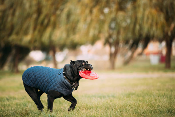 Active Black Cane Corso Dog Play Running With Plate Toy Outdoor In Park. Dog Wears In Warm Clothes. Big Dog Breeds Active Black Cane Corso Dog Play Running With Plate Toy Outdoor In Park. Dog Wears In Warm Clothes. Big Dog Breeds. cane corso stock pictures, royalty-free photos & images