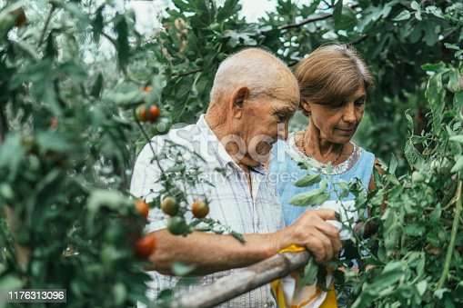 Old father and mature daughter harvesting in a vegetable garden