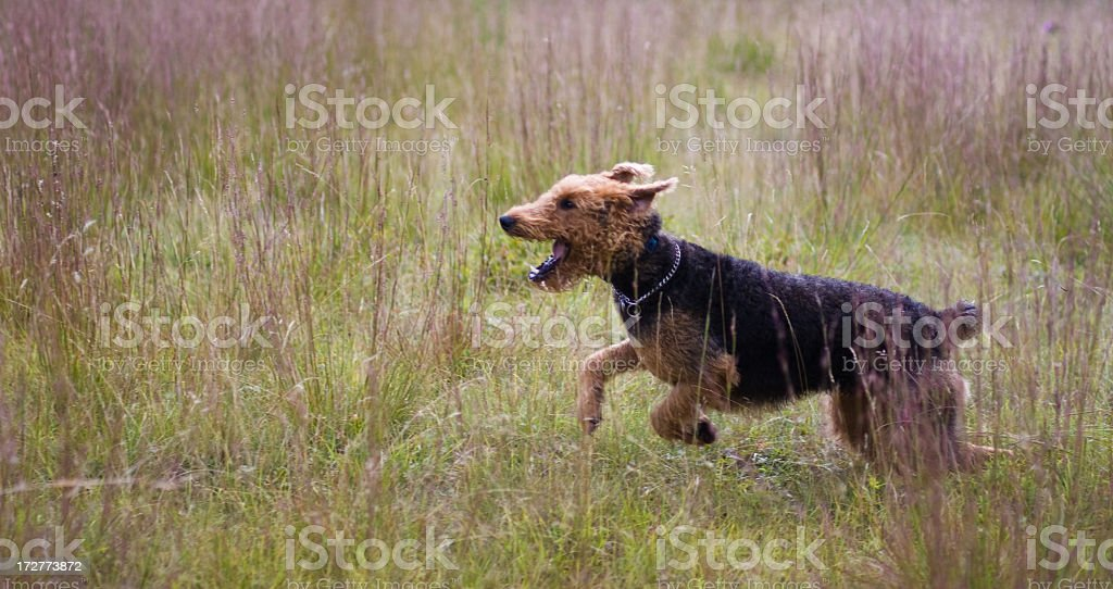 Active dog: airdale terrier run and jump stock photo