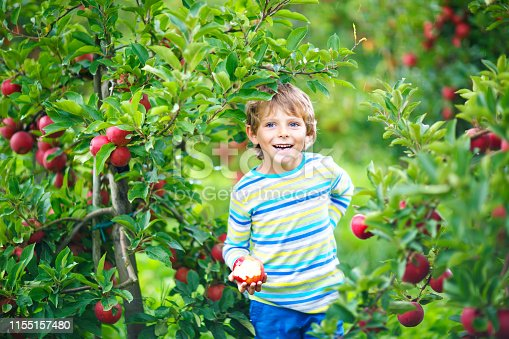 Active happy blond kid boy picking and eating red apples on organic farm, autumn outdoors. Funny little preschool child having fun with helping and harvesting