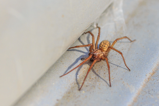 istock Active house spider 682171926