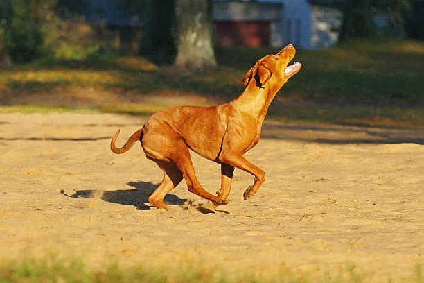 Active hungarian vizsla dog running outdoors on a sand picture id636669290?b=1&k=6&m=636669290&s=612x612&w=0&h=hryeb5ab lhhf5rszzeuugeik1sygpjyk5feeh9uyxy=