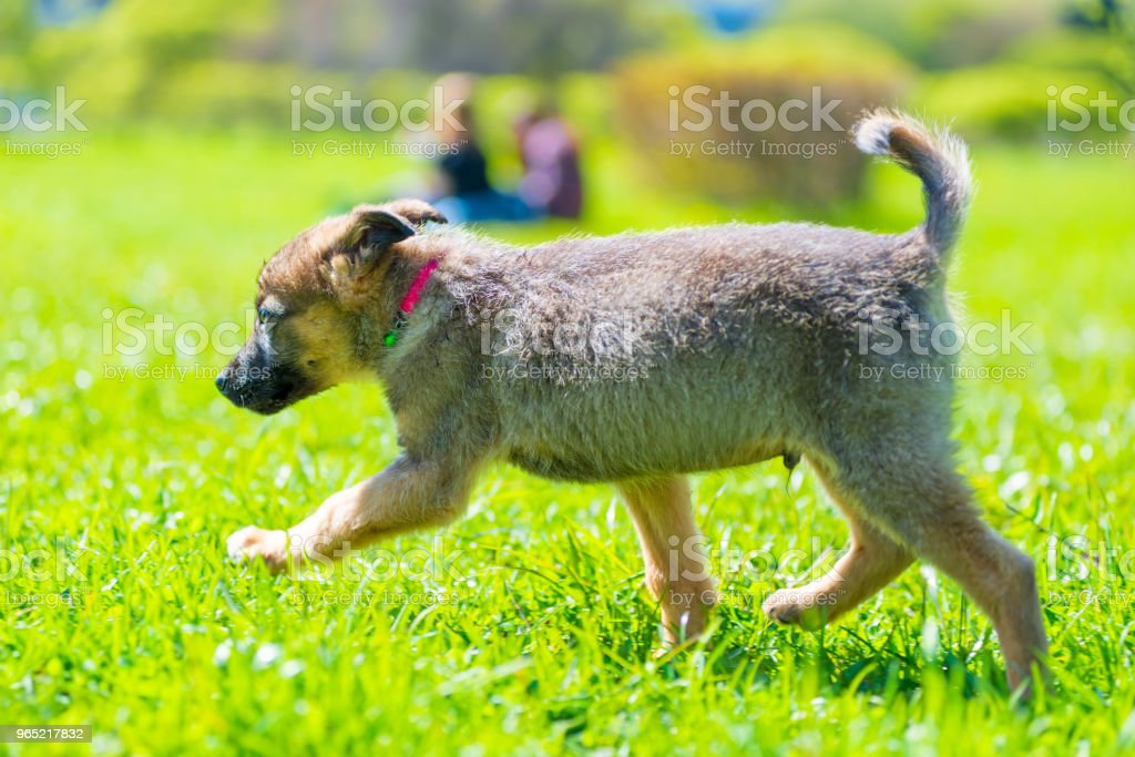 active little puppy running around on green grass on a sunny day royalty-free stock photo
