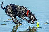 Black Labrador Retriever playing catch at the beach on the Oregon Coast