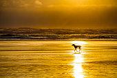 Dog out for a run along Cannon Beach on the Oregon Coast