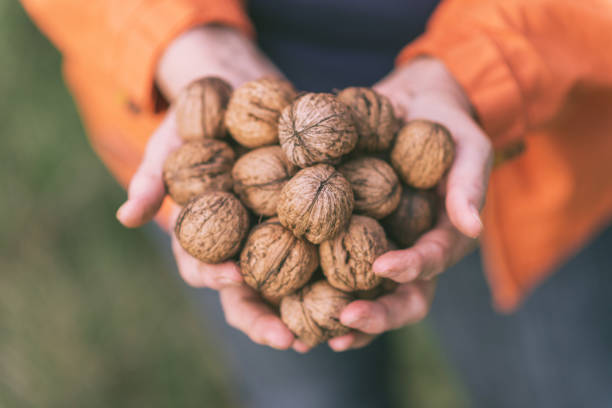 Active Senior woman with handful of walnuts Senior woman spending her days in retirement in her backyard garden with flowers or orchard with walnut trees. Woman is living healthy life fulfilled with activities and hobby work. Some of the fruits of her work, woman sells on the farmer's market. walnut stock pictures, royalty-free photos & images