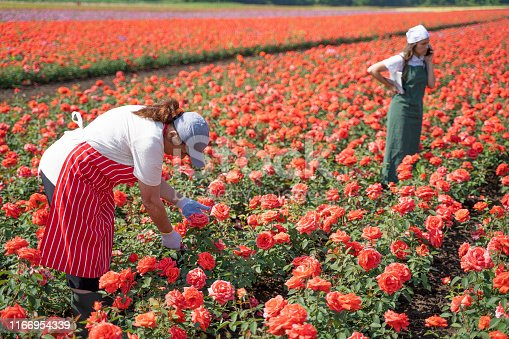 istock Active seniors working with the younger generation in the Rose fields. The abundance of the decorative rose is in its peak. 1166954339
