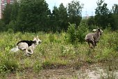 Playful happy Shepherd and Weimaraner dogs having fun and playing together in park