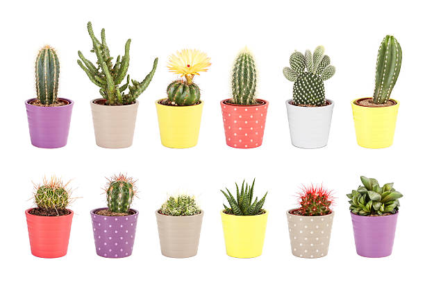 Сactus collection isolated on white background stock photo