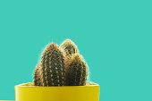 Cactus plant in yellow pot on pastel blue background, isolated. Minimal decoration style.