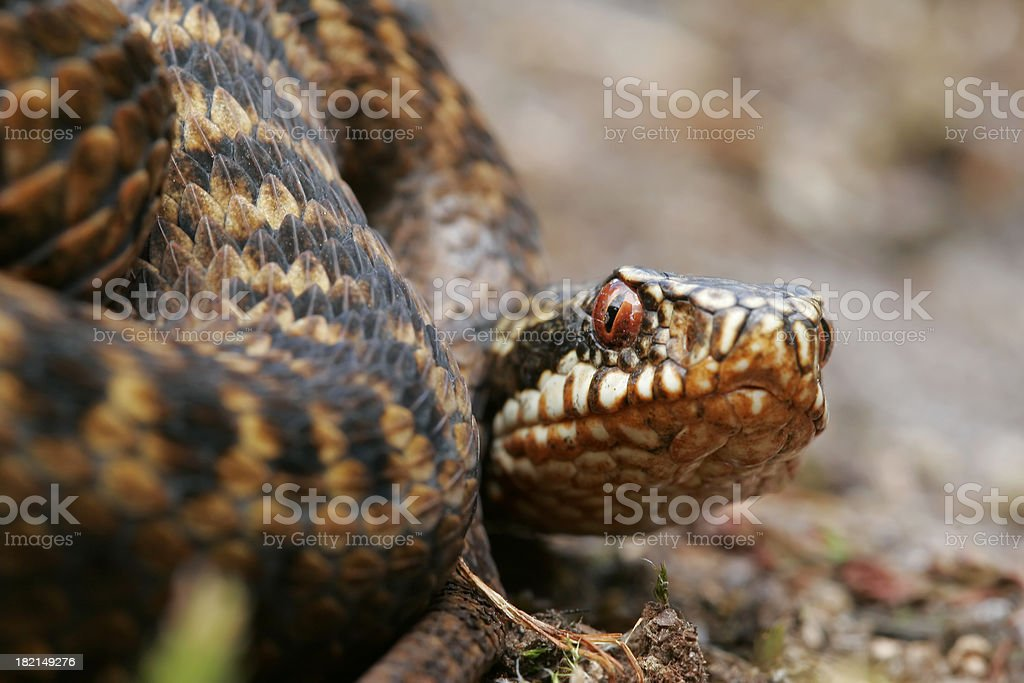 Adder royalty-free stock photo