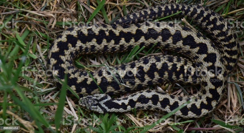 Adder Snake Surrey England UK stock photo