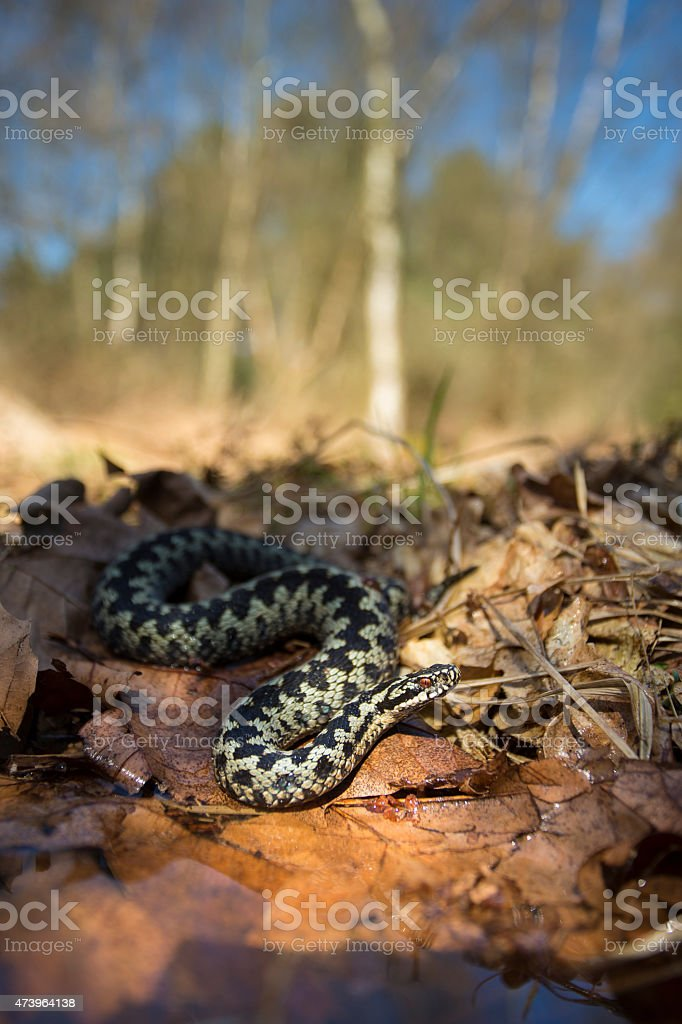 Adder - Vipera berus stock photo