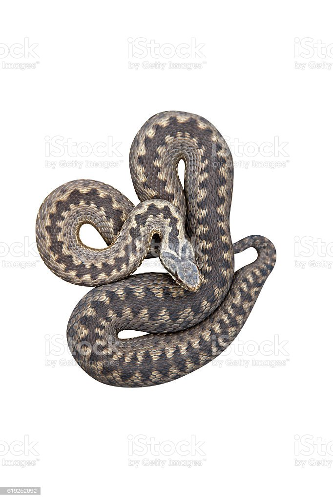 Adder, Vipera berus stock photo