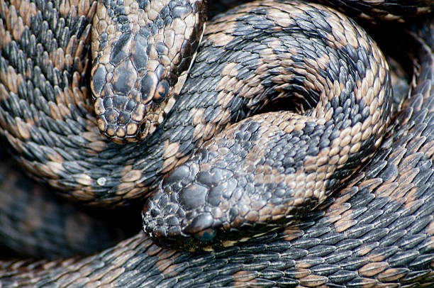 Adders warming in the sun stock photo