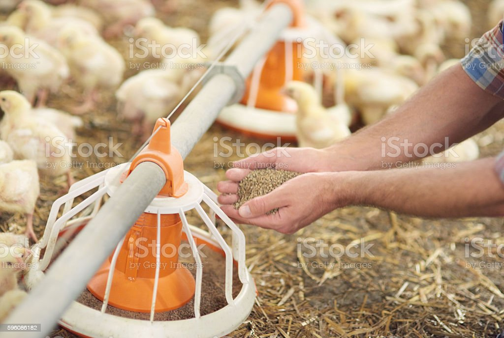 Adding some pasture to the feeder royalty-free stock photo
