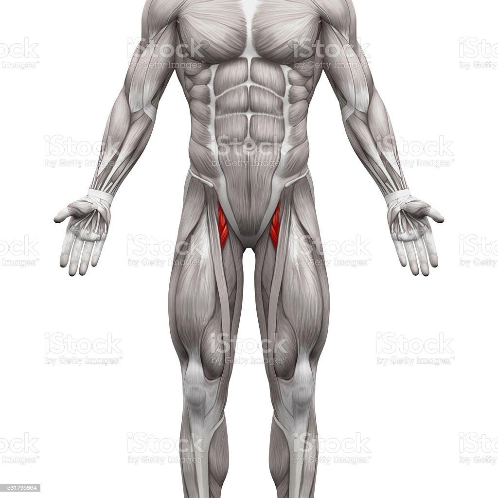 Fotografía de Aductor Brevis Y Aductores Longus Anatomía Muscular ...