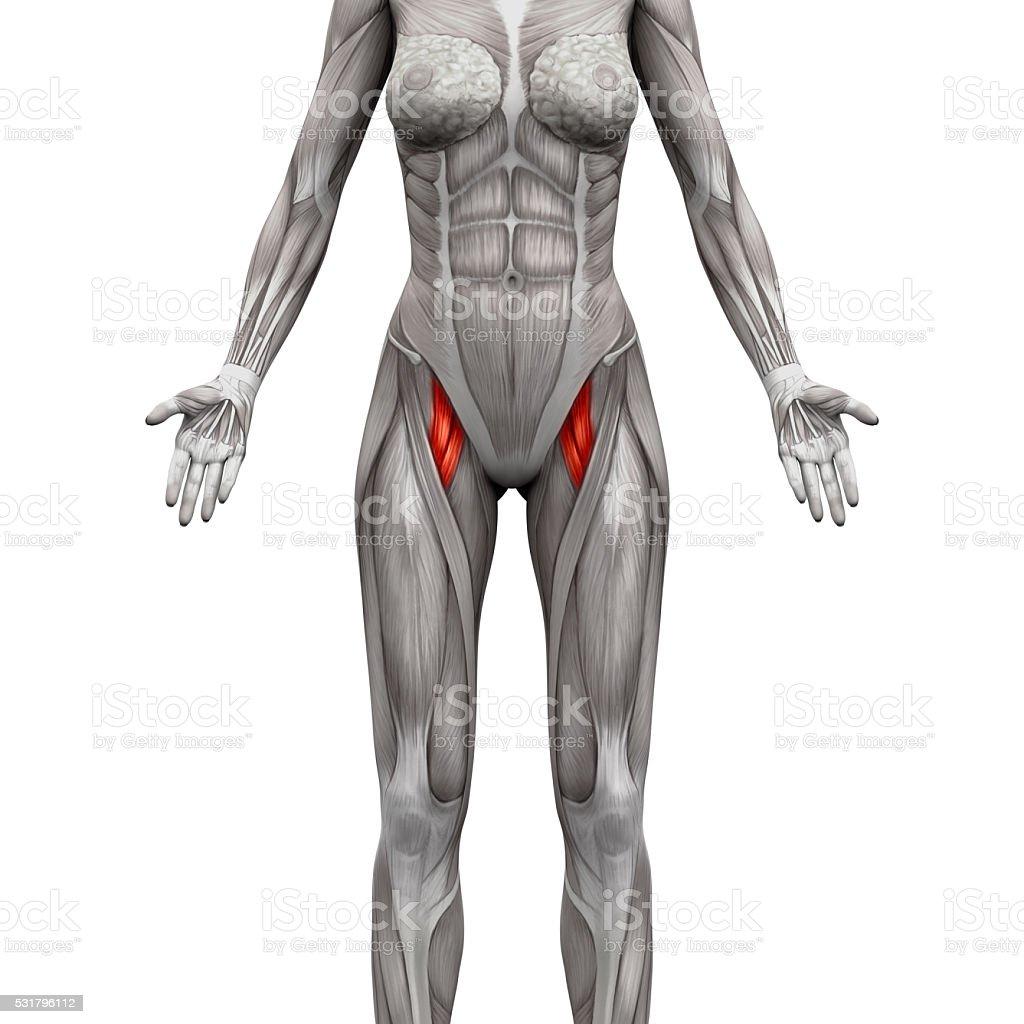 Aductor Brevis Y Aductores Longus Anatomía Muscular Los Músculos ...