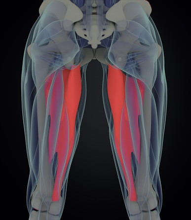 istock Adductor magnus. Female muscle anatomy. Leg muscles. 3d illustration 675674558